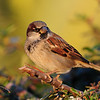 Dec.18,2009 House Sparrow