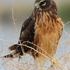 Dec.21,2009 Northern Harrier